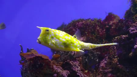 óceáni : one exotic longhorn cowfish is floating in sea water in background of seaweeds Stock mozgókép