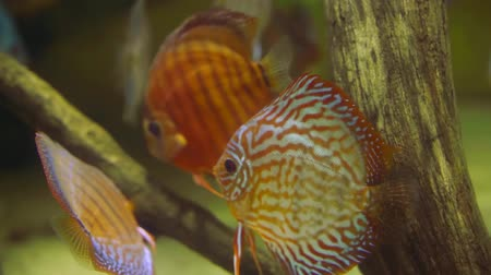 small group of animals : few of small tropical fish with silver and red colors are swimming underwater in warm sea Stock Footage
