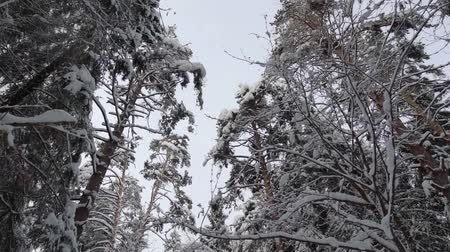 arejado : flying camera in a fabulous winter forest. pine trees in the snow on the branches Vídeos