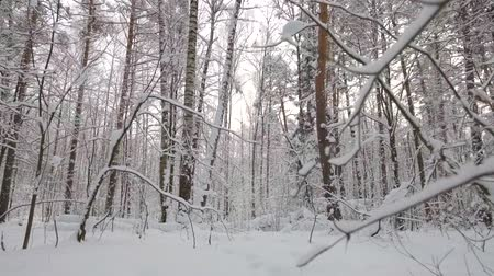 birch : flying camera in a fabulous winter forest. pine, birch and aspen trees in the snow on the branches Stock Footage
