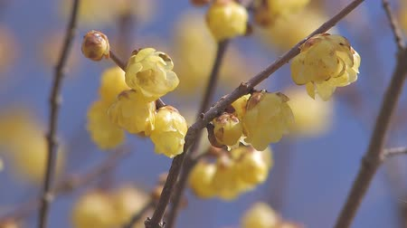 dismay : Flower of a Winter Sweet in Nagatoro,Saitama,Japan