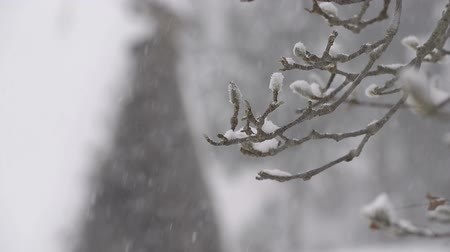 deep snow : Snow falling on the tree,in Toyama,Japan