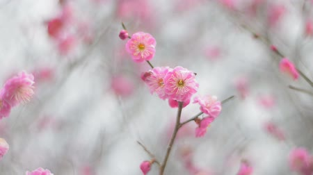 japan : Red Plum Flowers,in Showa Kinen Park,Tokyo,Japan