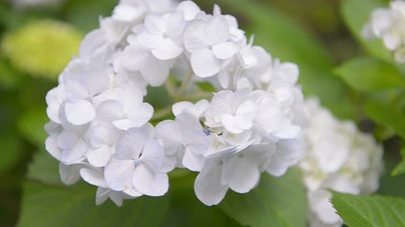 ortanca : Flowers of Hydrangea in Showa Memorial Park,Tokyo,Japan Stok Video
