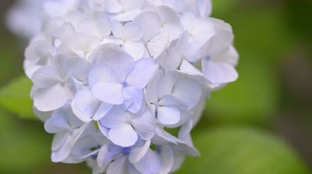ortanca : Flowers of Hydrangea in Showa Memorial Park Tokyo Japan Stok Video