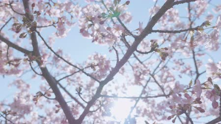 cereja : Kawazu Cherry blossoms, at Showa Memorial Park, Tokyo, Japan, Filmed in 4 K.
