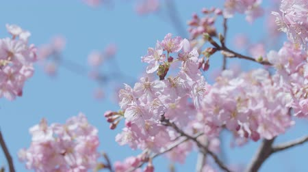 canteiro de flores : Kawazu Cherry blossoms, in Showa Memorial Park, Tokyo, Japan, Filmed in 4 K. Vídeos