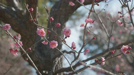 fragrância : Japanease Red Plum, at Showa Memorial Park, Tokyo, Japan, Filmed in 4 K.