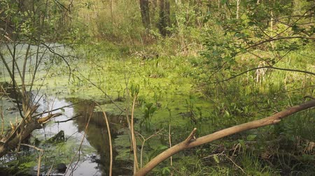 borowina : Wetlands and green forest. Impassable swamp landscape