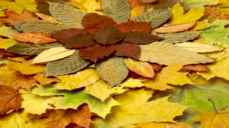 Multicolored leaves. Autumn background. Rotation Стоковые видеозаписи