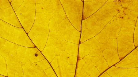 Yellow autumn leaf close up. Leaf texture background Стоковые видеозаписи