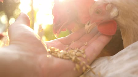 barnyard : A mens hand feeds a chicken in the yard