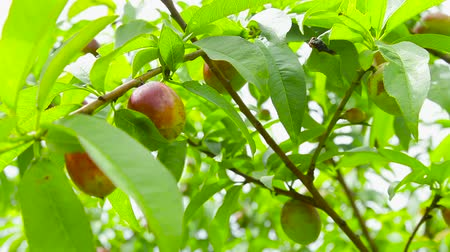 nektarinka : The wind rustles the branches of the nectarines tree with fruits