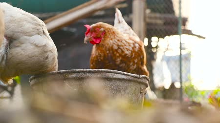 Domestic chickens on the farm