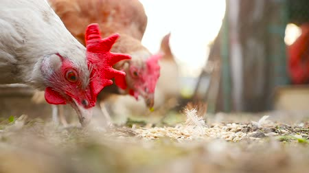 A close-up of a chicken that eats wheat