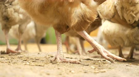 Close-up of chicken paws