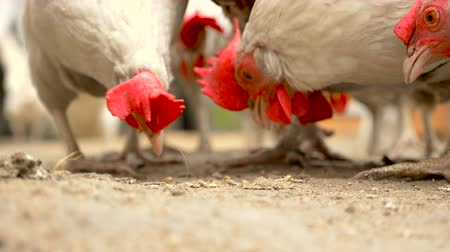 Close up of chickens