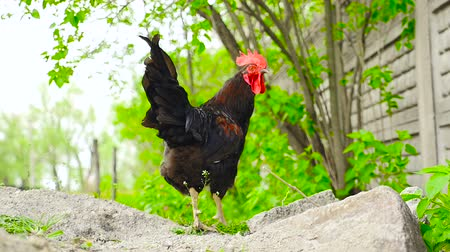 Cock on the background of greenery Стоковые видеозаписи