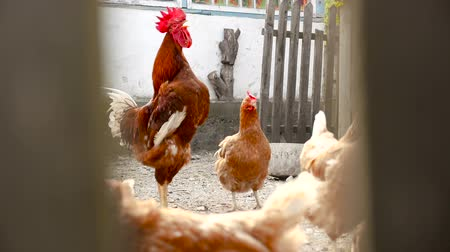 Chickens peck grain behind the fence.