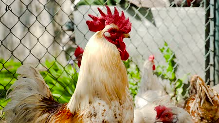 voracious : The rooster is talking Stock Footage