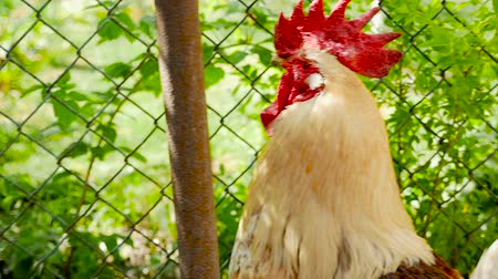 voracious : Rooster walking around the yard. Close-up