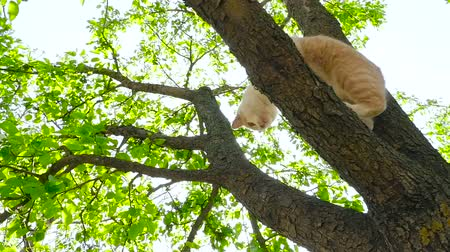 ronronar : A ginger cat in the tree HD Stock Footage