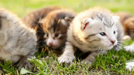 five striped : Group of little kittens on a green grass HD Stock Footage
