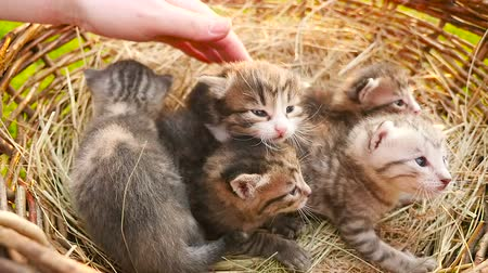 five striped : Tiny kittens in a basket HD