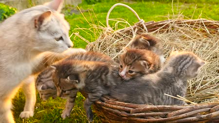 Little kittens with a cat. HD