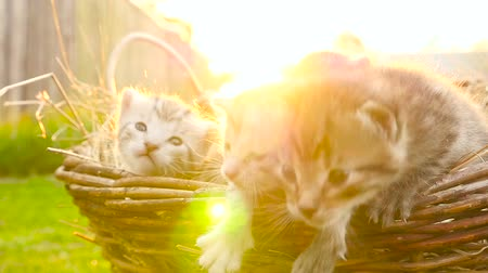 Tiny kittens in a basket HD