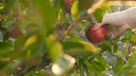 Female hand picks an apple from a tree. Slow motion