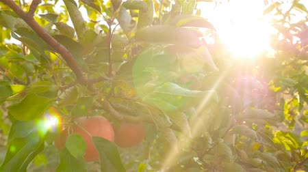 Beautiful red apples on a tree. The lights of a sun. Slow motion