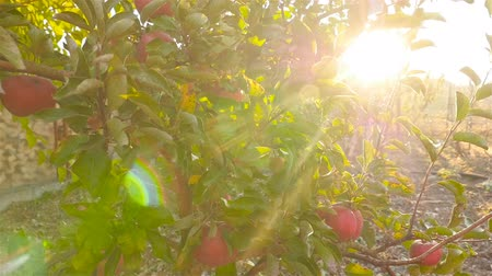 Beautiful tree with red apples. Sun rays. Camera in motion