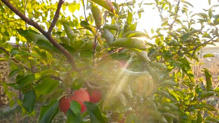 fruity garden : Beautiful apple tree. Red apples. Bright sun rays