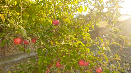 rural area : A small fruit tree with beautiful apples. Beautiful Sunny rays. Camera in motion Stock Footage