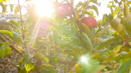 An apple on a tree. Close-up. Sun rays. Slow motion Стоковые видеозаписи