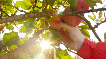 A woman picking apples from a tree. Close-up. Slow motion
