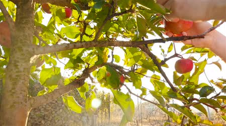 A woman picking apples from a tree. Close-up. Slow-motion