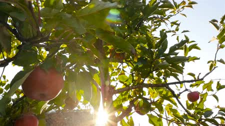 Close-up of an apple on the tree. Beautiful sunlight. Slow motion