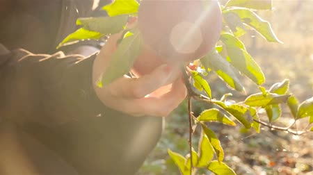 A woman picks an apple from a tree. Slow motion. Close-up.