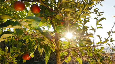 Beautiful tree with apples. Bright sun rays shining through the leaves