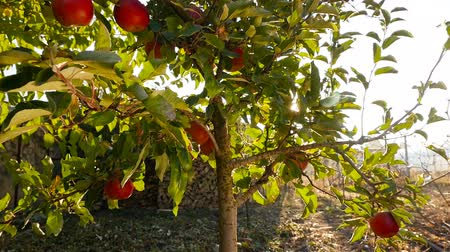 Beautiful tree with red apples. Bright sun rays shine through the leaves. The camera is lowered down