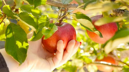 harvesting : Female hand plucking an apple. Close-up Stock Footage