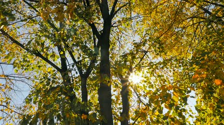 Beautiful autumn trees. The suns rays shine through the leaves