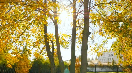 Golden autumn. Beautiful trees with yellow leaves