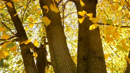 The sun shines through the yellow leaves of the trees. Beautiful autumn. Camera in motion Стоковые видеозаписи