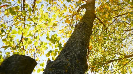 The sun shines through the leaves of the trees. Beautiful autumn. Yellow leaves. Bright sun lights Стоковые видеозаписи