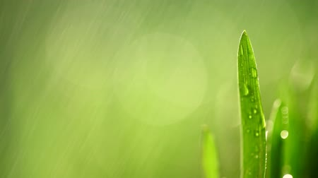 esőerdő : green grass with rain drops on it