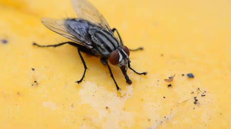 létat : Close-up footage of a fly eating mango syrup.