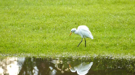 зелень : Animals in Wildlife - White Egret in natural, slow motion.